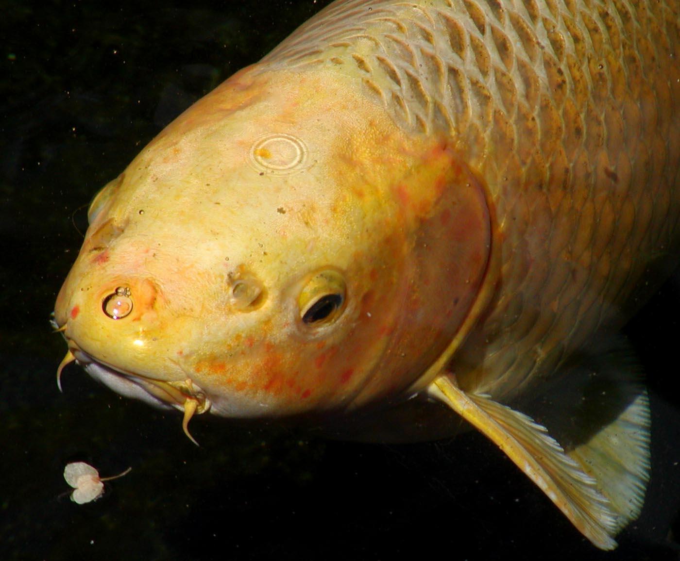 Koi karpers koikarpers gids for Koi teichfische